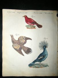 Bertuch 1804 Bird Print. Crimson Pigeon, Golden Wing, Azure - Crown Pigeon